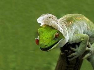 lizard-shedding-skin-wallpaper-1